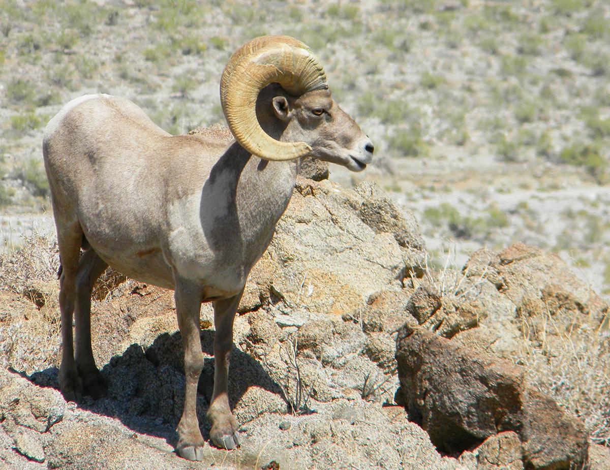 """""""Antelope"""